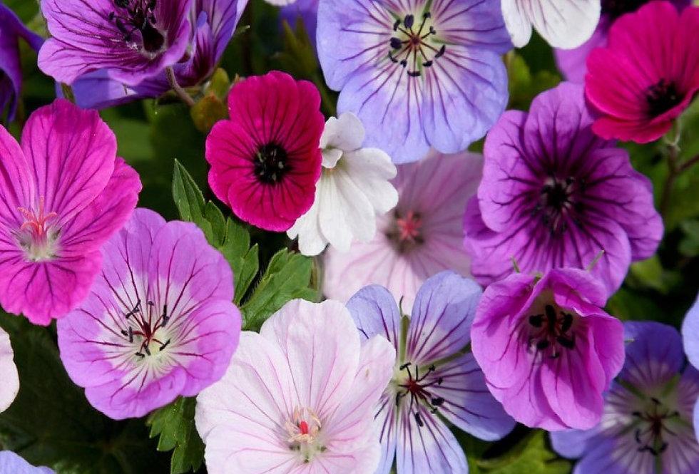 Geranium Fantasy Mixed Flower Bulbs  10Pk