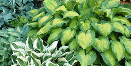 HOSTA PERENNIAL MIXED PLANTS BARE ROOT - PACK OF 6