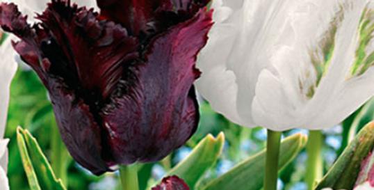 BLACK & WHITE PARROT TULIP BULBS - PACK OF 10
