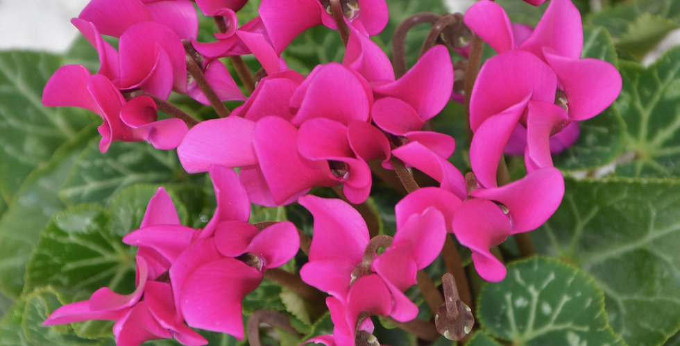 PINK CRUSH CYCLAMEN FLOWER BULBS - PACK OF 3