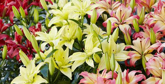 LILIUM OOHS & AAHS FLOWER BULBS MIX - PACK OF 10