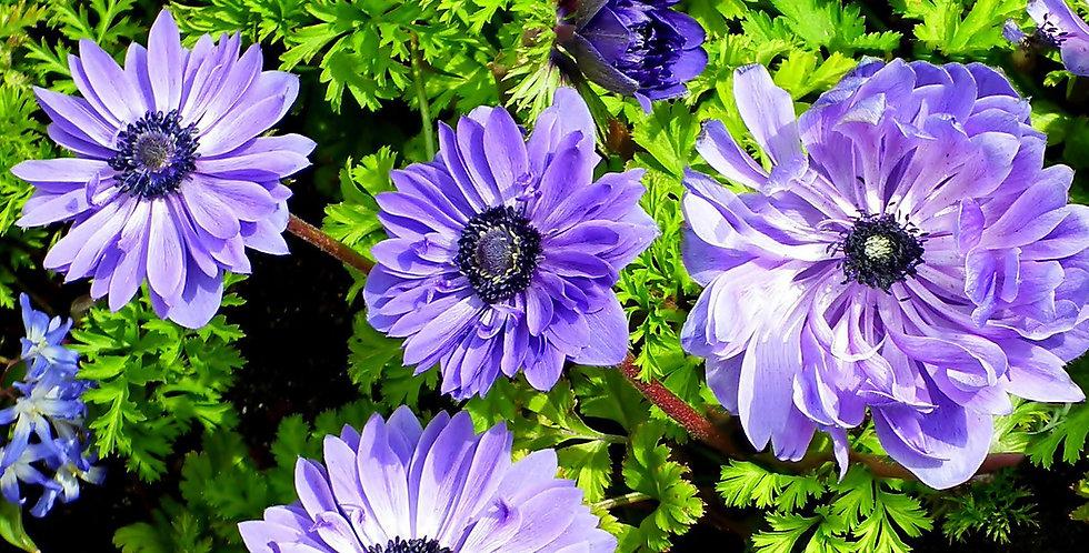 LIEUTENANT ANEMONE POPPY FLOWER BULBS - PACK OF 15