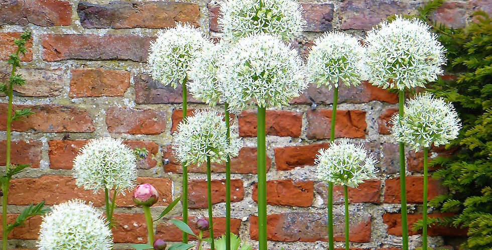 SNOW WHITE AMERICAN ALLIUM FLOWER BULBS - PACK OF 15