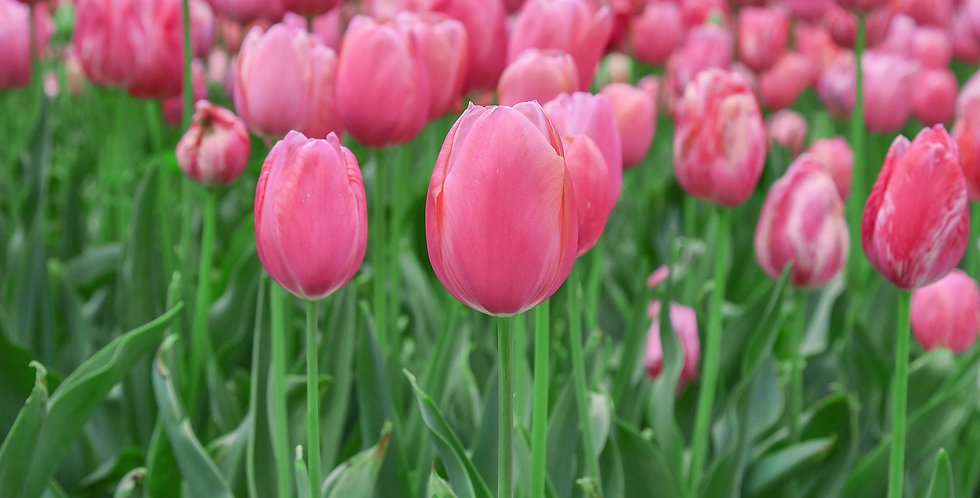 PINK COTTON CANDY TULIP FLOWER BULBS - PACK OF 8