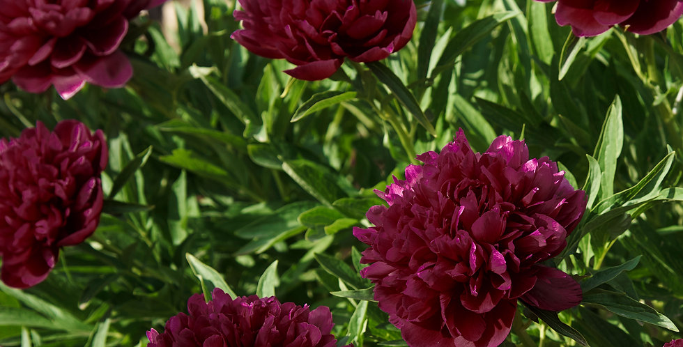BLACK RASPBERRY PEONY BARE ROOTS - PACK OF 3