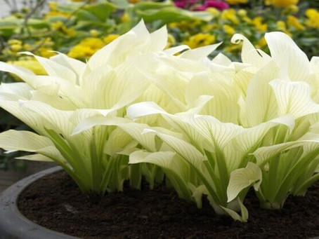 White Feather Hosta Growing Guide