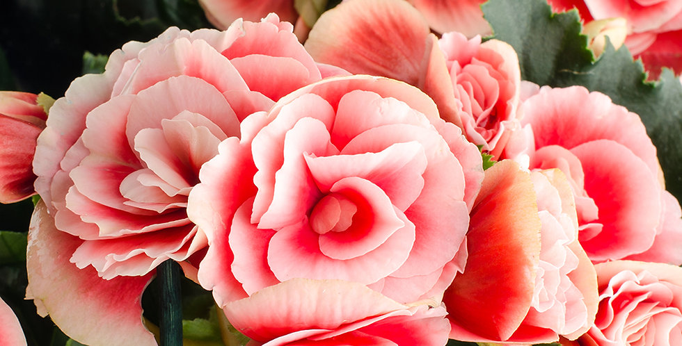 STRAWBERRY BEGONIA BULBS - PACK OF 4