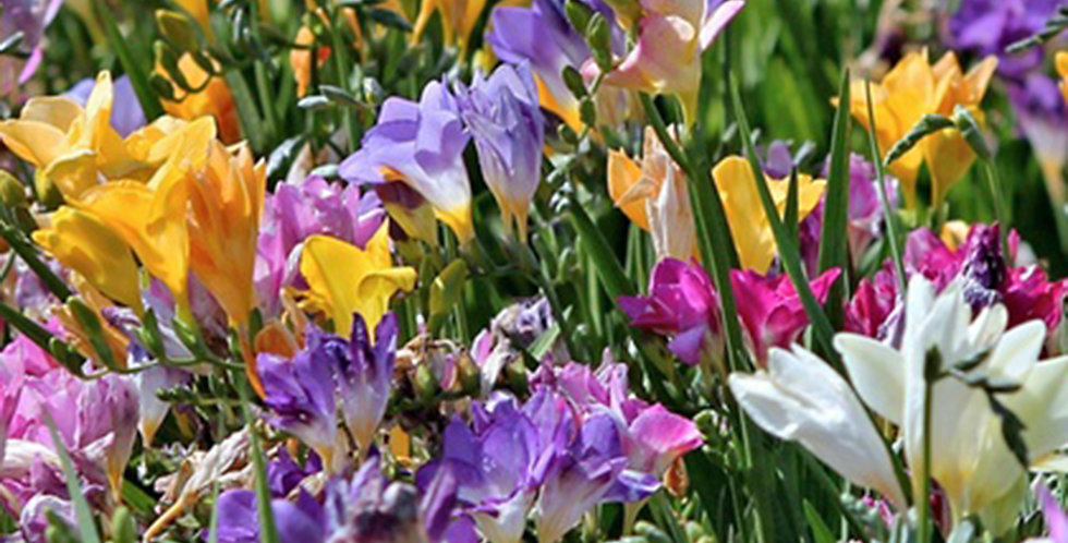 FREESIA MIXED - PACK OF 30