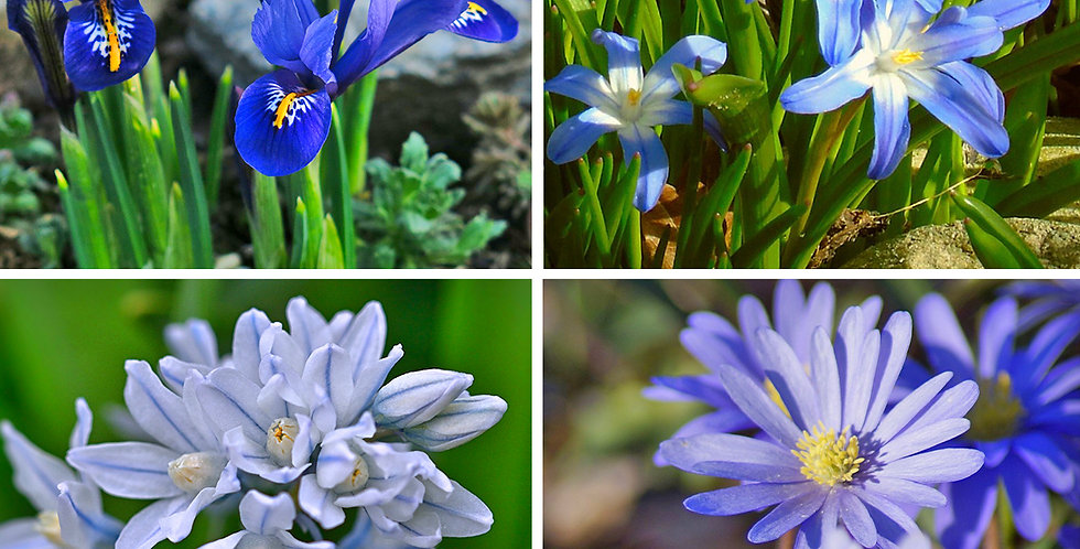 ROCK GARDEN FLOWER BULB COLLECTION - PACK OF 55