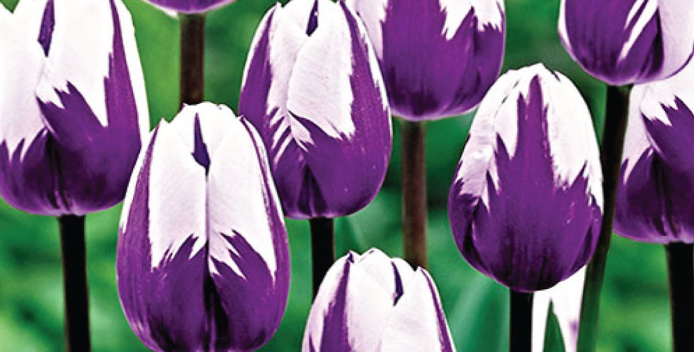 BLUEBERRY RIPPLE TULIP BULBS - PACK OF 10