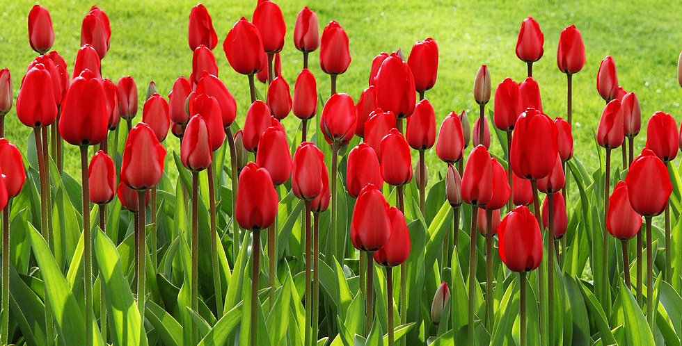 SCARLET SKYSCRAPER TULIP FLOWER BULBS - PACK OF 10