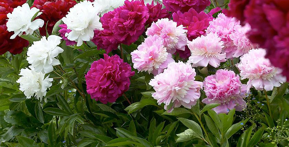 MIXED PEONIES BULBS - PACK OF 4
