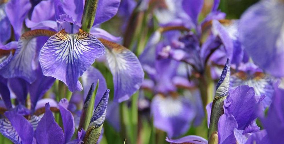 BEE & BUTTERFLY GIANT PURPLE SIBERIAN IRIS BULBS - PACK OF 3