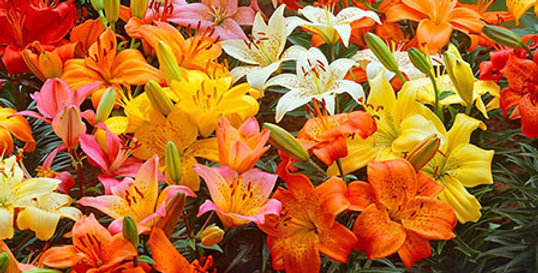 DWARF PATIO LILY BULBS - PACK OF 6