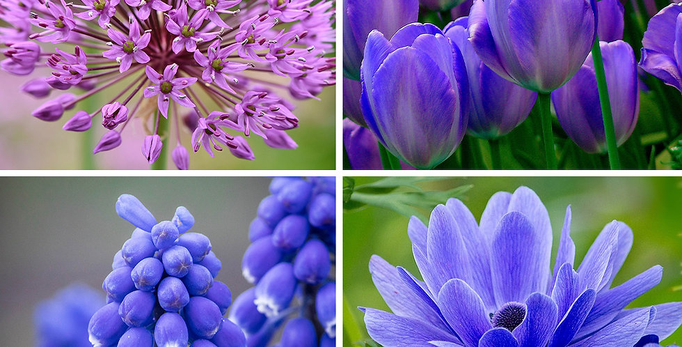 BLUE GARDEN FLOWER BULB COLLECTION - PACK OF 40
