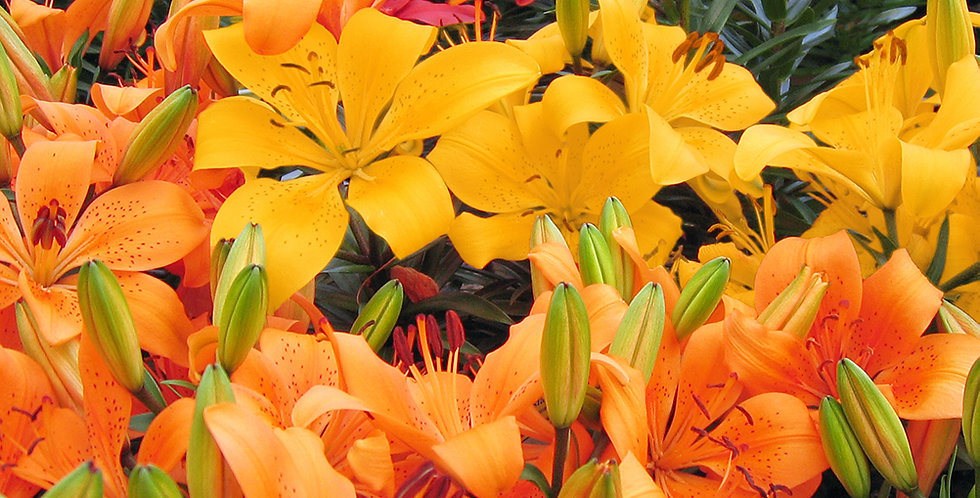 ASIATIC LILY BULBS - PACK OF 4