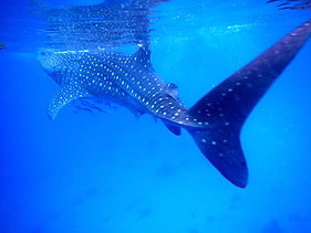 Swimming Whale Sharks