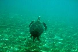 Tartaruga Filippine.JPG