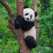 Pink Ribbon Panda