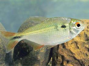 Lambari (Astyanax bimaculatus)