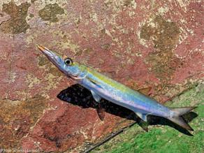 Bicuda (Boulengerella maculata)
