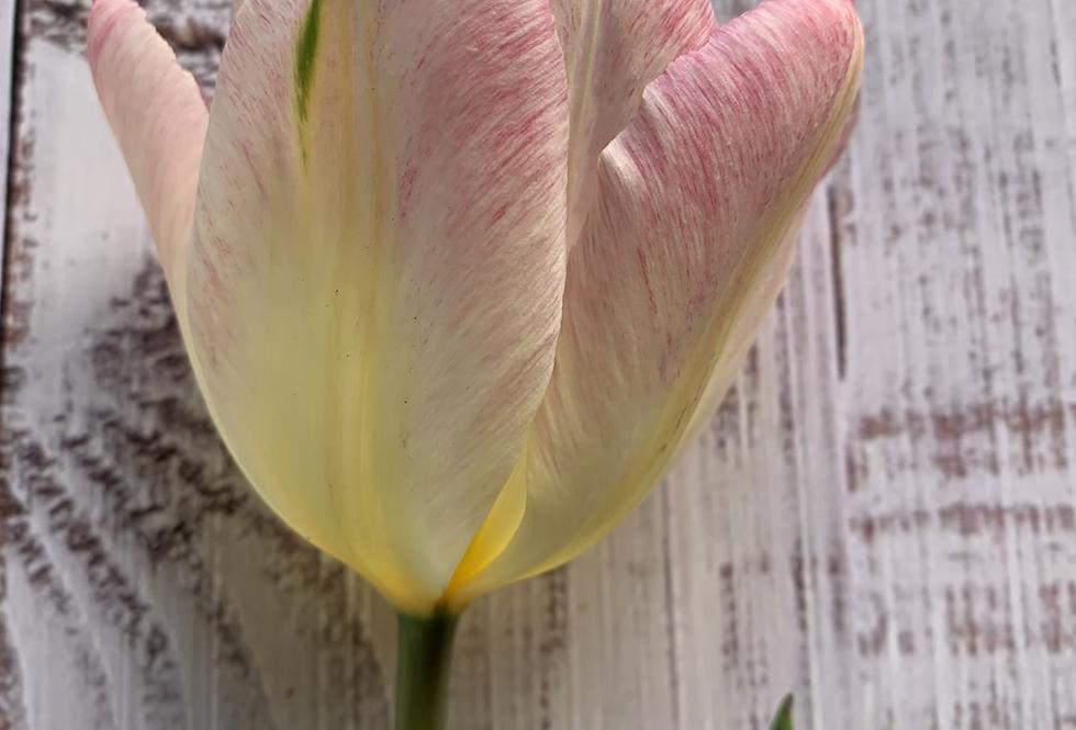 Tulip-Flaming Purisma