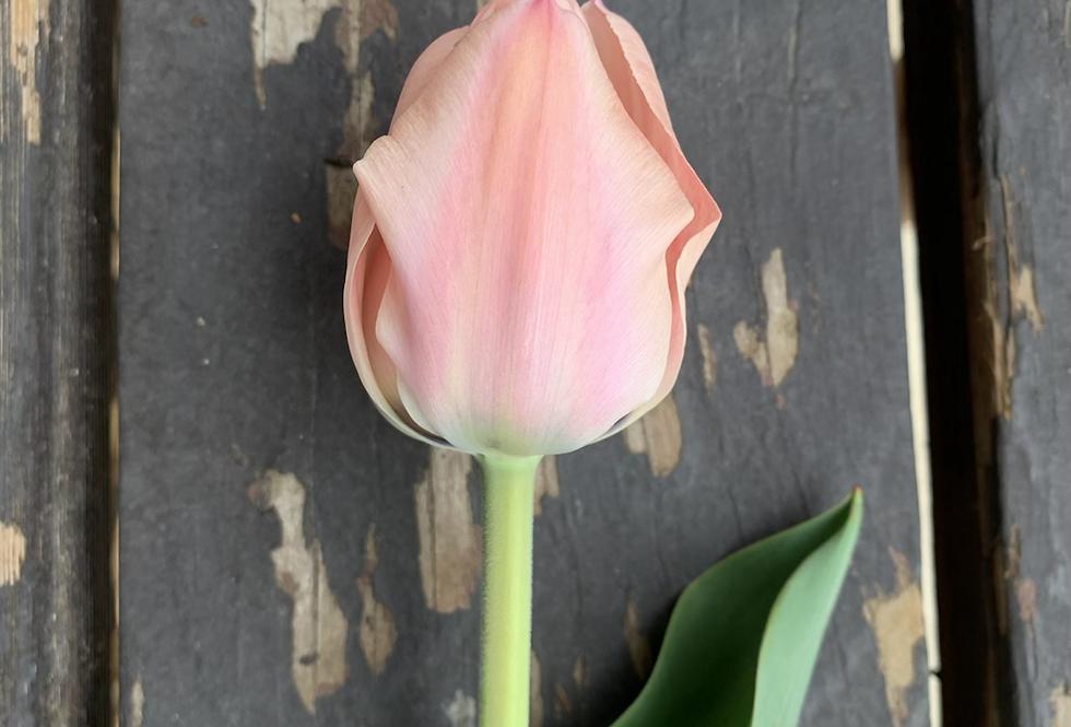 Tulip-Apricona