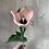 Thumbnail: Tulip-Apricona