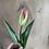 Thumbnail: Tulip-Flaming Purisma