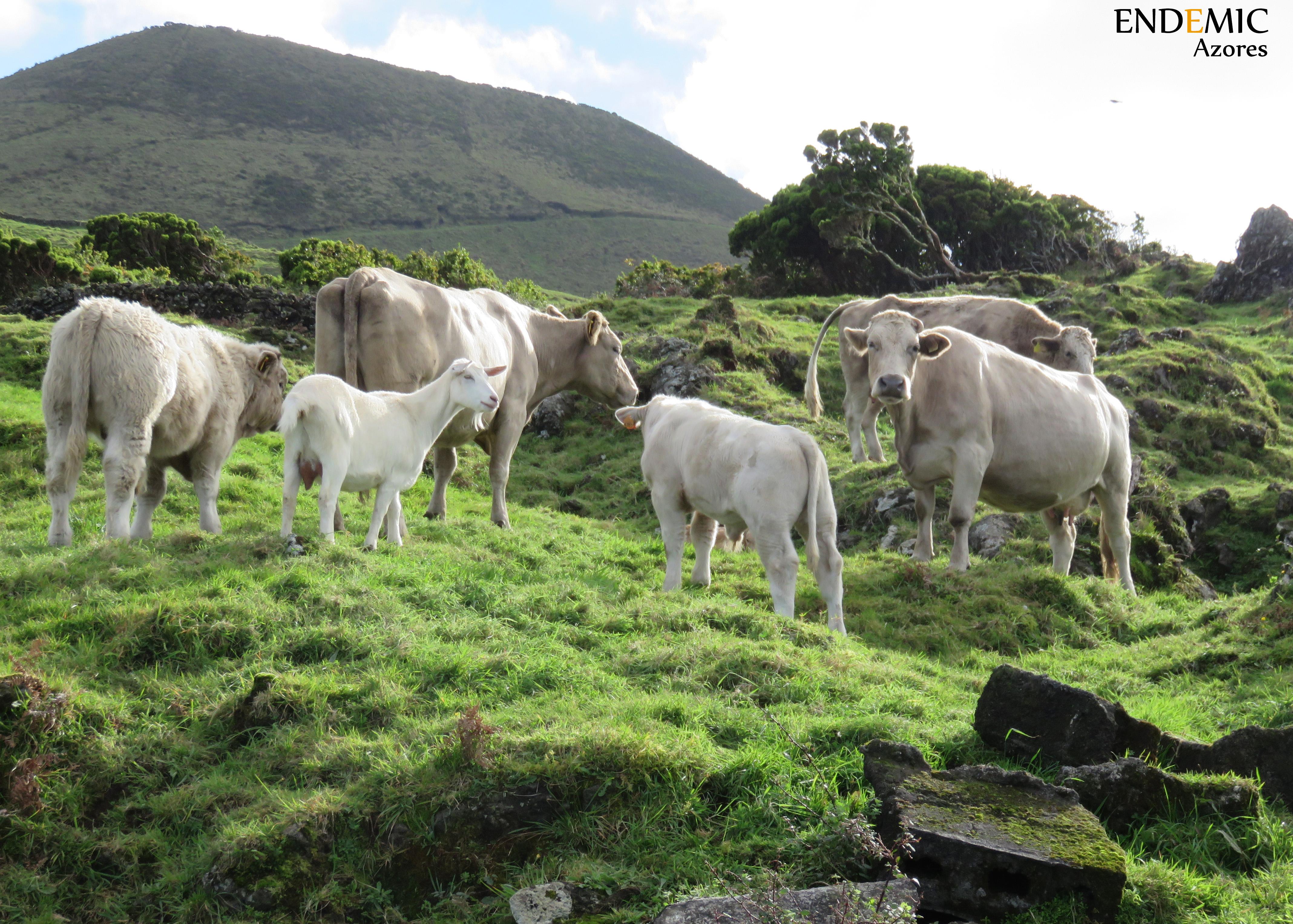 Cowsaffari