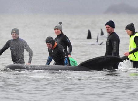 Un tercio de las 270 ballenas varadas en Australia murieron.