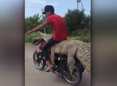 Jóvenes roban cocodrilo y se lo llevan en una motocicleta
