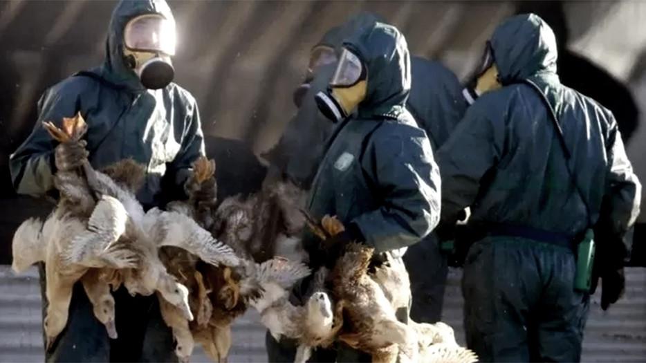 Alertan  por brotes de variante de gripe aviar altamente contagiosa