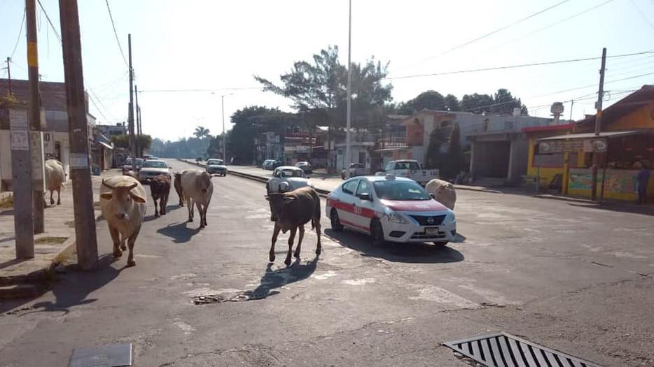 Aplicarán multas más severas a propietarios que dejen suelto su ganado en calles de Tuxpan.