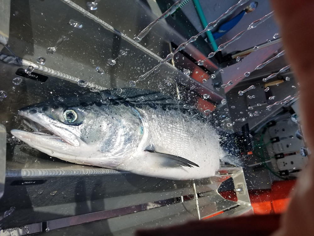 Prince William Sound Sockeye about to be pressure bled