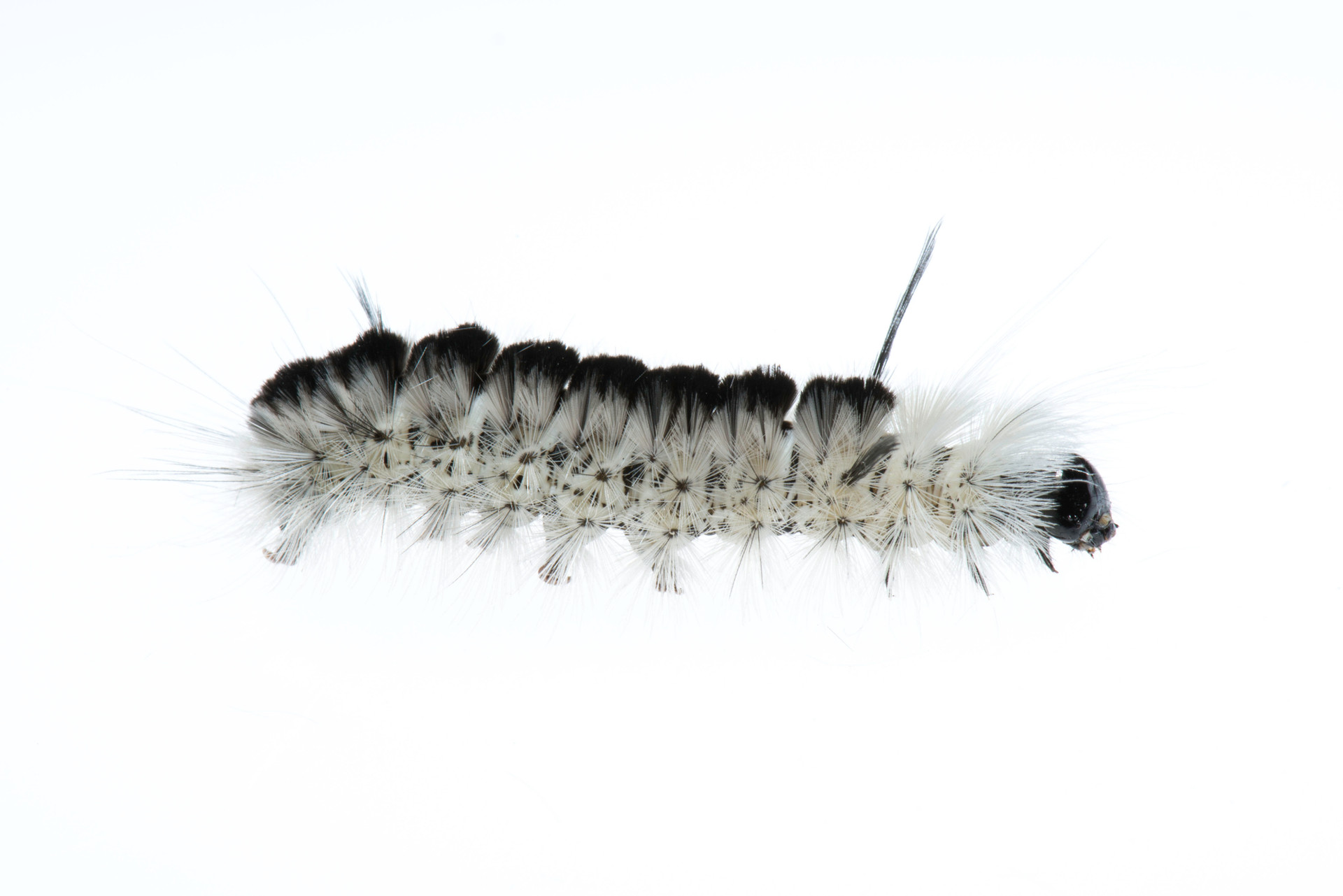 Image of a caterpillar from Mendon Ponds in Rochester NY photographed with the field studio technique. Field studio is a photographic technique that creates a studio style image without removing the specimen from it's natural habitat.