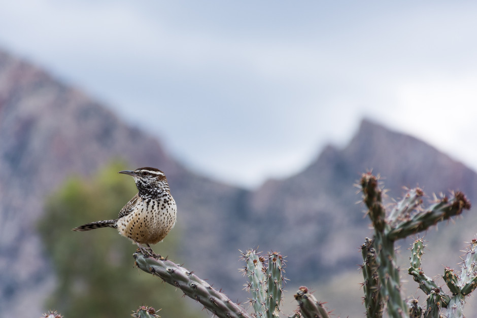 Wren on a cactus in Tucson