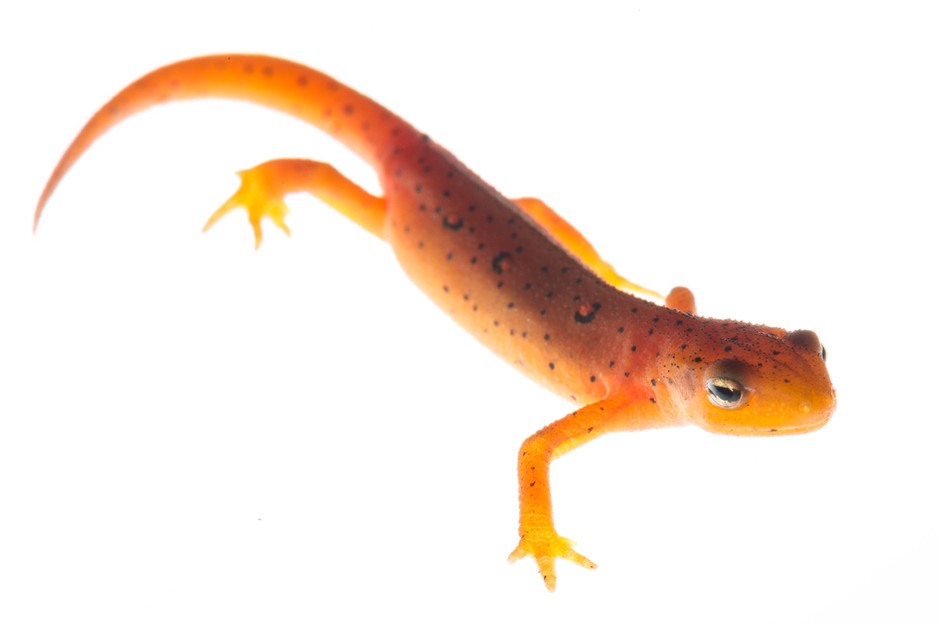 Image of a newt from Mendon Ponds in Rochester NY photographed with the field studio technique. Field studio is a photographic technique that creates a studio style image without removing the specimen from it's natural habitat.