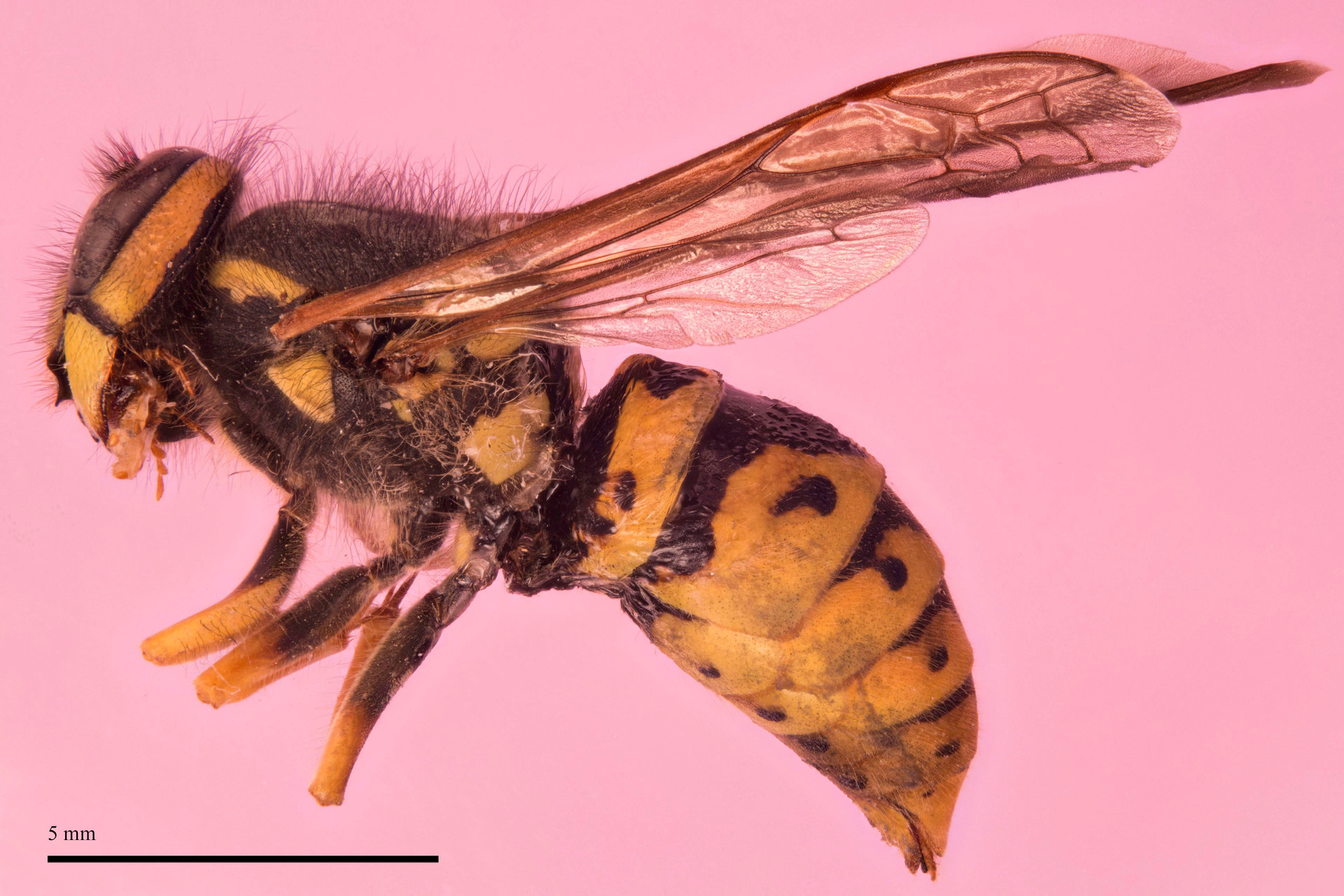 High mag image of a yellow jacket