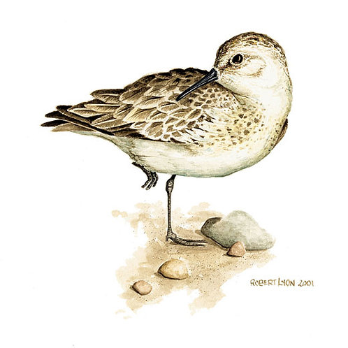 Sandpipers Study