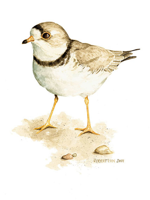 Piping Plover Study