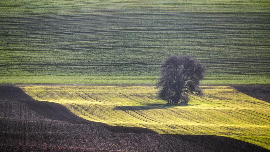 Svatobořice-Misřín barevná pole, strom