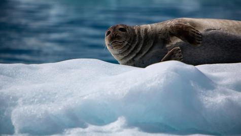 tuleň na kře, Jökulsárlón