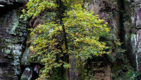 řeka Kamenice, strom mezi skalami
