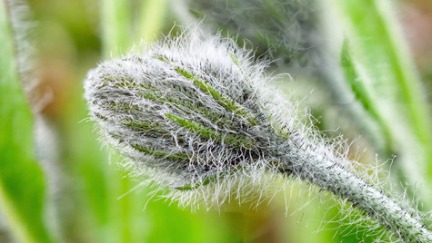 Hieracium villosum.jpg