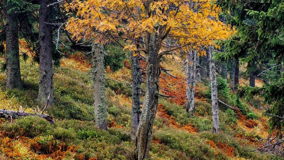podzimní strom, Jeseníky.jpg