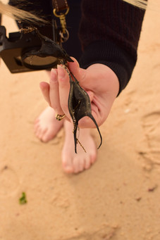 """The tiny """"mermaid's purses"""" were the egg sacs of skates and dogfish. Hundreds of them were washed up empty on the shore. A new generation of baby fish were out there in the surf."""