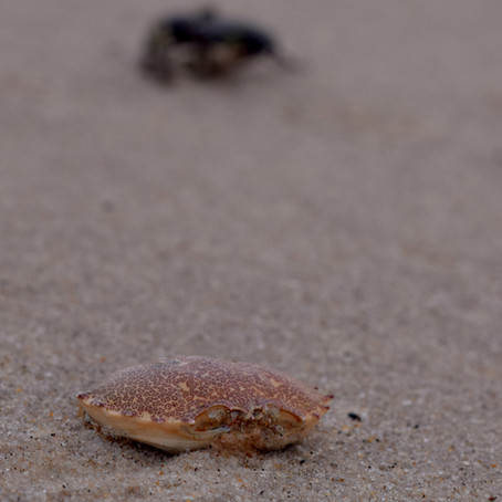 Empty Crab Shell on the Beach