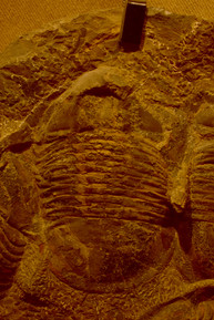 The first true masters of the sea were trilobites, dominating the oceans with 17,000 identified species over 270 million years.