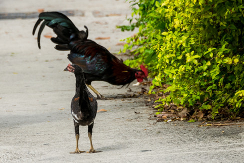 empire of the chickens-7.jpg